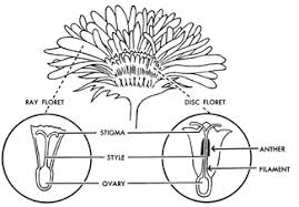 fig3 simple flower diagram to label flowers ideas on structure of flower worksheet