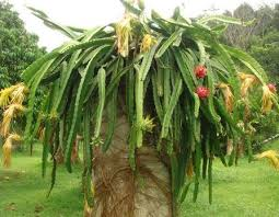 7 Dragon FruitDragon Fruit On Tree
