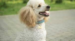 Poodle Sizes Toy Miniature And Standard Poodle Growth