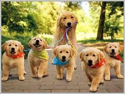 golden retriever newborn puppies. Modren Retriever Puppy For Golden Retriever Newborn Puppies