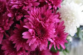 beautiful beautiful flowers bloom blooming blossom bouquet bright chrysanthemum close up color colour decoration flora flowers