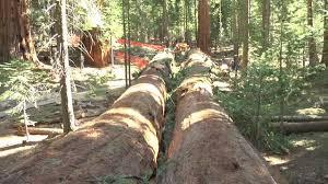 giant sequoia fall
