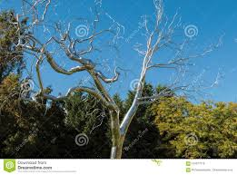 sculpture by artist roxy paine of silver tree called graft on view at the national gallery of art sculpture garden washington dc