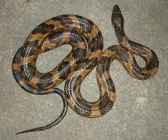 Snake Identification Chart Snakes Of Louisiana Louisiana Department Of Wildlife And