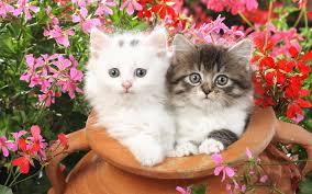 cute cats wallpapers free download.  Wallpapers Double Cat Wallpaper To Cute Cats Wallpapers Free Download