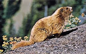 Rodents Lower Classifications Marmot Rodent Britannica