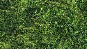 tall grass texture seamless. Fresh Green Grass Shot From Top View, With Wind Flowing And Long Shadows Casting. Tall Texture Seamless