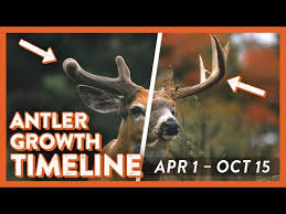 Whitetail Antler Growth Chart Whitetail Deer Antler Growth Timeline