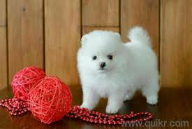 show quality pomeranian puppies available pure breed 8297003102