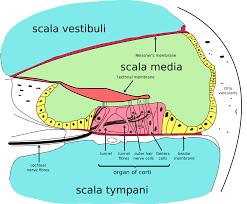 อวัยวะของคอร์ติ - วิกิพีเดีย