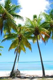 palm trees tumblr vertical. File:Palm Trees Polynesia.jpg Palm Tumblr Vertical X