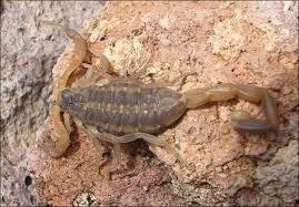 Durango Scorpion: Centruroides suffusus