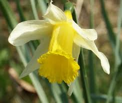 Narcissus pseudonarcissus - Wikipedia