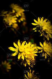 nature yellow flowers yellow flowers