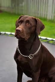 chocolate labrador retriever. FichierLabrador Retriever Chocolate Hershey Sitjpg For Labrador