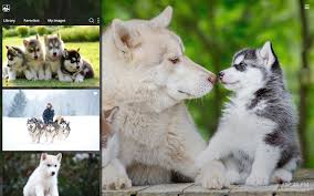 cute baby husky wallpaper. Plain Husky Overview Inside Cute Baby Husky Wallpaper