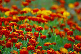aphids mosquitoes and even rabbits don t like the smell of marigolds photo swaminathan flickr