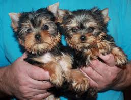 pure toy yorkie puppies yorkshire terrier