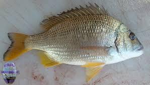 bream yellowfin
