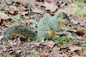 Squirrel Species Chart Tree Squirrels Identification And Management Pests In The