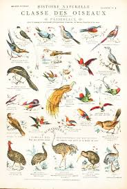 Vintage School Chart French 1900 Birds Classifications