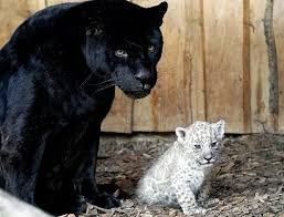 albino black panther.  Panther Albino Leopards And Albino Jaguars Do Exist But They Are Much Rarer  Less Common Than Black Panthers Intended Black Panther I