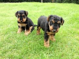 Welsh Terrier Dog Puppy (Page 1) - Line ...