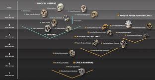 Hominin Chart Hominin Family Tree Graphic Showing Early Hominins