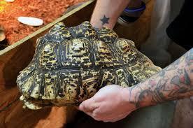 Leopard Tortoise Size Chart The Leopard Tortoise Of Africa