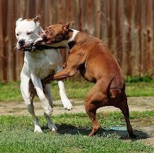 pitbull terrier fight. Brilliant Pitbull Pit Bull Sport Show And Pitbull Terrier Fight E