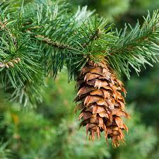 douglas fir pictures. Wonderful Douglas Wild Grown And Douglas Fir Pictures F