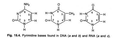 essay on dna meaning features and forms genetics pyrimidine bases found in dna