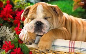 english bulldog puppy wallpaper. English Bulldog Puppy Wallpaper And