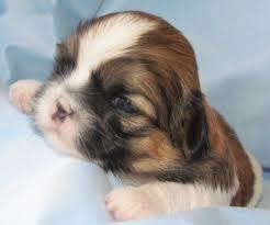 Lhasa Apso Growth Chart Shih Tzu Puppy Weight Chart Calculate The Adult Size Of A