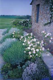 Small Picture Rose Garden Companion Plants Lavender Lavender garden and Gardens