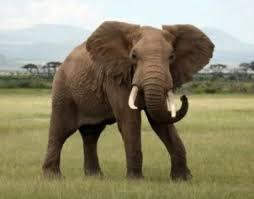 elephant color. Delighful Elephant Elephants  With Elephant Color C