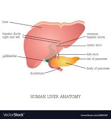 Liver Anatomy Structure And Function Of Human Liver Anatomy