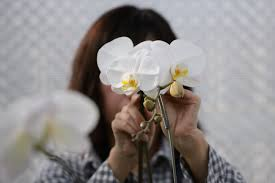 an employee affi orchids to a metal stake in a greenhouse at ushimura orchid farm