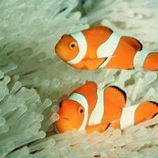 РЫБА КЛОУН amphiprioi ocellaris Энциклопедия Материал для реферата Симбиоз рыбы клоун и ядовитой актинии