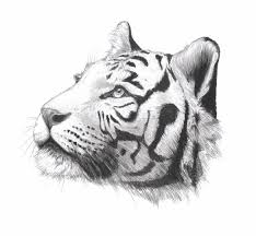 мужские эскизы тату тигры