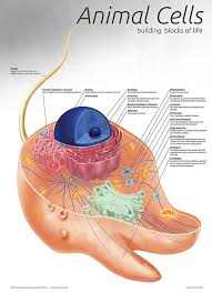 Biology Charts And Posters Animal Cell Chart