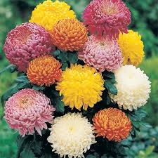 chrysanthemum ga garden mum plant as solar garden lights
