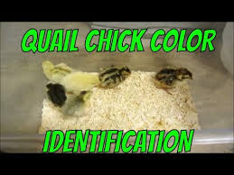 Quail Chick Color Identification Youtube
