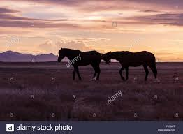 wild horses sunset. Unique Horses Wild Horses Silhouetted At Sunset And J