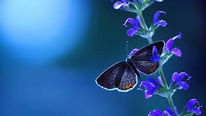 desktop wallpaper butterfly. Brilliant Desktop Lavender Butterfly HD Desktop Wallpaper Inside