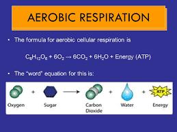 9 cellular respiration aerobic respiration cellular respiration
