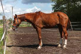 weight gain for older horses the horse
