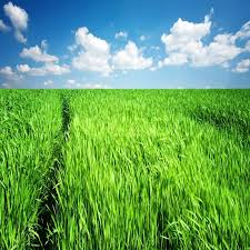 tall green grass field. The Path Through Tall Grass On A Green Field Springtime | Stock Photo Colourbox