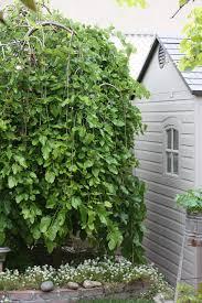 Morus Alba U0027Pendulau0027  Weeping White MulberryRHS GardeningTeas Weeping Fruiting Mulberry Tree