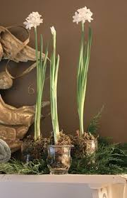 Paper White Flower Bulb 226 Best Gardening Paperwhites And Amaryllis Bulbs Images Bulbs
